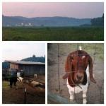 Katie's Goat