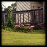 Sue's Pink Flamingos