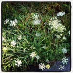 Sue's Queen Anne's Lace