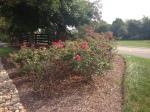 Tonya's Rosebush